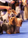 Yorkshire terrier terriers in the best couple competition at the dog show Royalty Free Stock Photos