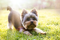 Yorkshire terrier waiting for play Royalty Free Stock Photo