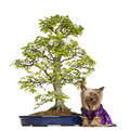 Yorkshire terrier wearing a kimono sitting next to a bonsai tree years old isolated on white Stock Image