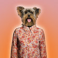 Yorkshire terrier wearing a shirt on orange background Royalty Free Stock Photo