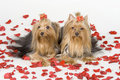 Yorkshire terriers on white background Stock Photography
