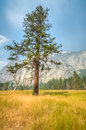 Yosemite lonley tree in meadow with mountain in background Royalty Free Stock Photo