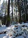 Yosemite winter forest scene Stock Image