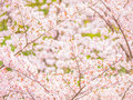 Yoshino cherry tree branch in full bloom Royalty Free Stock Image