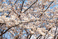 Yoshino cherry tree branches in full bloom in the sky background Royalty Free Stock Photography
