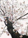 Yoshino cherry tree in full bloom in the sky background Stock Photography