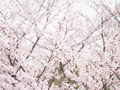 Yoshino cherry tree in full bloom in the sky background Stock Photo