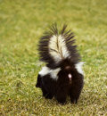 You Don't Wanna Be Here - Striped Skunk Stock Photo
