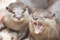 Are you okay one otter is looking on the his partner screaming i guess what will he say to next man Royalty Free Stock Photos