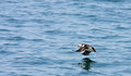 Yound puffin flying above the atlantic ocean young learning how to fly in celtic sea near skomer island Royalty Free Stock Photography