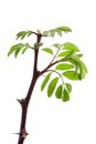 Young acacia leaves fresh isolated on a white background Royalty Free Stock Photography