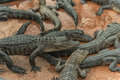 Young Aligators in Everglades Alligator Farm. Florida. Royalty Free Stock Photo