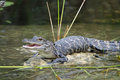 Young Alligator with Mouth Open Basking in the Sun Royalty Free Stock Image