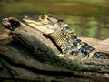 Young Alligator Sunning on Log Royalty Free Stock Photo