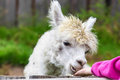 Young alpaca being hand fed Stock Images