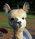 Young alpaca closeup Royalty Free Stock Image
