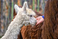 Young alpaca eagerly eating a treat Stock Image