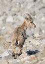 Young Alpine ibex - Steinbock Stock Photos