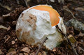 Young amanita caesarea very still egg shaped edible delicious and nutritive or caesar s mushroom in natural habitat Stock Photo
