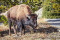 Young American bison grazing in Yellowstone National Park, USA. Royalty Free Stock Photo