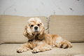 Young American cocker spaniel Royalty Free Stock Photo