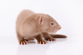 Young animal mink small rodent on a white background Stock Photo