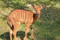 Young Antelope Kudu