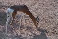 Young antelope in the zoo Royalty Free Stock Images
