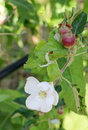 Young Apple Fruits And Blossom