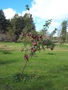 Young apple tree with first red apples Stock Photos