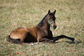Young arabian colt on the pasture Royalty Free Stock Photos