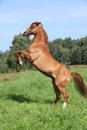 Young arabian horse prancing chestnut with show halter Stock Image