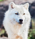 Young Arctic Wolf Close-Up Royalty Free Stock Photos