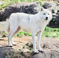 Young Arctic Wolf Standing on Rocks Royalty Free Stock Images