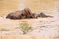 Young Asian elephants swimming Royalty Free Stock Photo