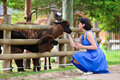 Young attractive woman feeding a group of lama Royalty Free Stock Image