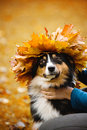 Young Australian shepherd with wreath of leaves Royalty Free Stock Photography