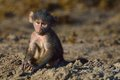Young baboon staring in chobe river botswana Stock Photos