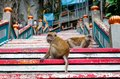 Couple of young monkeys otside sacred batu caves temple stairs during cloudy day Royalty Free Stock Photo