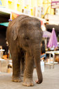 Young Baby Elephant Downtown City Bangkok Stock Photo