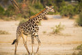 Young baby giraffe wilds tanzania Stock Image