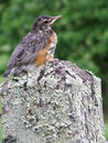 Young baby robin bird a sitting on a wooden fence outside with blurred green background Stock Photo