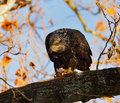 Young bald eagle perched on a limb and a blue sky and fall leaves background Stock Photo