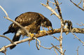 Young bald eagle taking a bite out of a dead branch high in the tree Royalty Free Stock Images