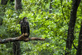 Young bald eagle on tree limb a perches a barren Stock Photography