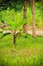Young banana plant