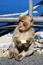 Young Barbary Ape, Gibraltar. Royalty Free Stock Photo