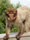 Young Barbary Macaque monkey Royalty Free Stock Photography
