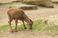 Young barbary sheep eating the grass Royalty Free Stock Images