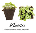 Young Basil Sprouts or Seedlings in Peat Container Isolated Royalty Free Stock Photo